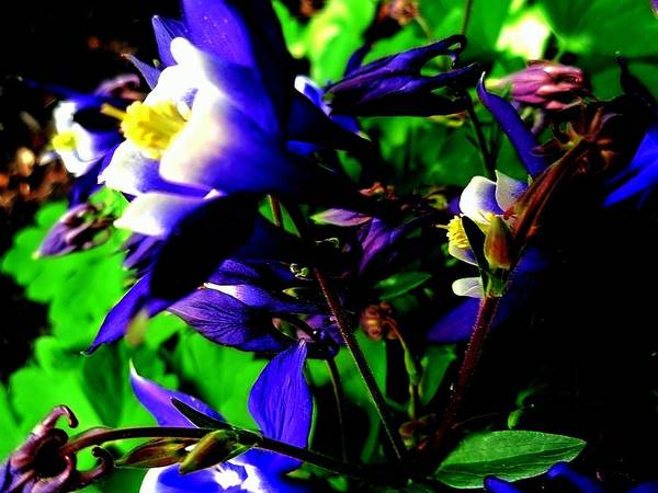 Photograph - Blue Columbine Fantasy by Beth Akerman