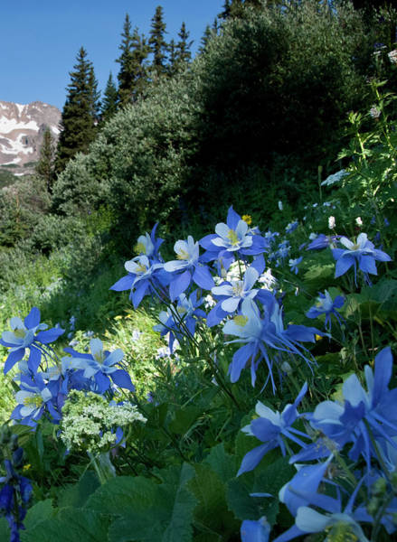 Photograph - Blue Columbine On The Mountain Slope by Cascade Colors