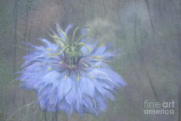 Cornflowers Photograph - Blue Cornflower by Amanda Elwell