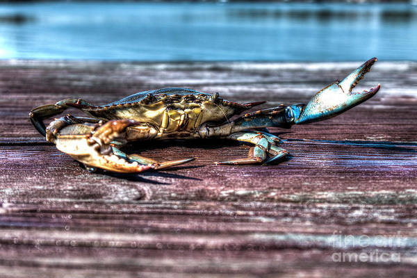 Photograph - Blue Crab - Big Claws by Tommy Patterson