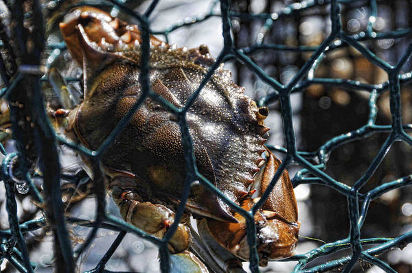 Photograph - Blue Crab  by Jody Lovejoy