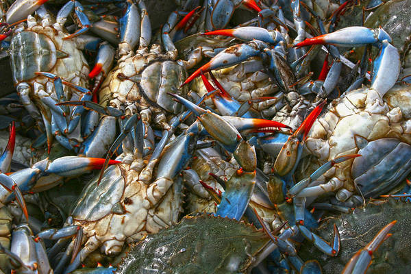 Photograph - Blue Crabs by Robert Och