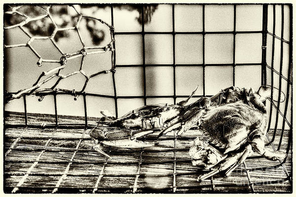 Photograph - Blue Crabs - Vintage by Tommy Patterson