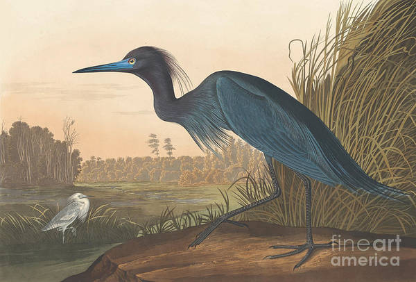 Waters Edge Wall Art - Painting - Blue Crane Or Heron by John James Audubon