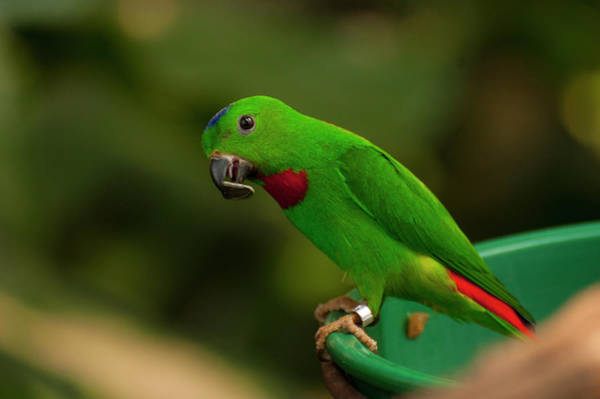 Photograph - Blue-crowned Hanging Parrot 1 by Chris Flees