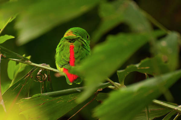 Photograph - Blue-crowned Hanging Parrot 2 by Chris Flees