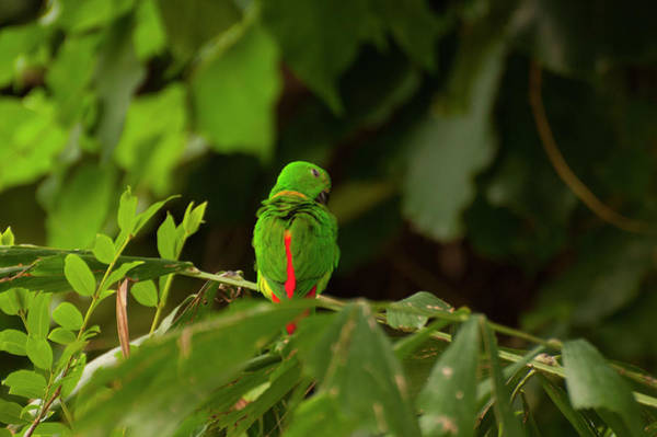 Photograph - Blue-crowned Hanging Parrot 3 by Chris Flees