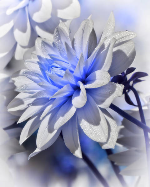 Photograph - Blue Dahlia by Wes and Dotty Weber