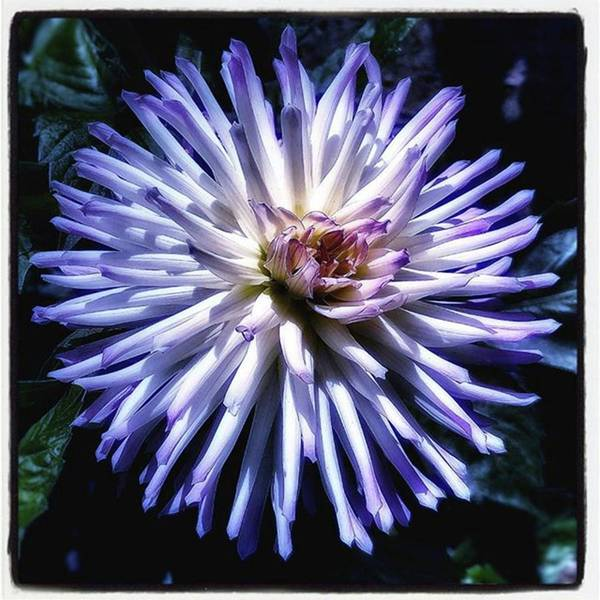 Photograph - Blue Dahlia. Like A Winking  Star In by Mr Photojimsf