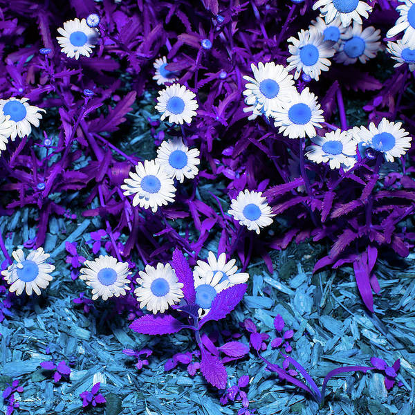 Photograph - Blue Daisy by Erich Grant