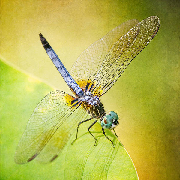Wall Art - Photograph - Blue Darner Dragonfly by Jeff Abrahamson