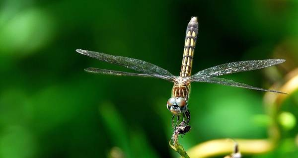Blue Dasher Art Print