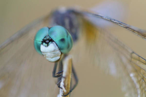 Photograph - Blue Dasher Dragonfly #1 by Paul Rebmann