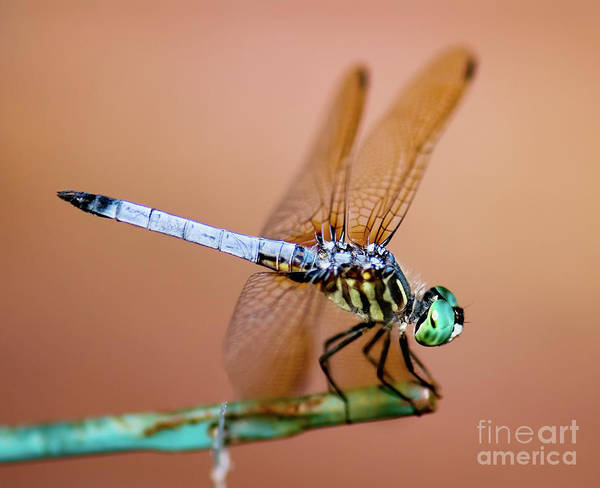 Dasher Photograph - Blue Dasher Dragonfly by Betty LaRue