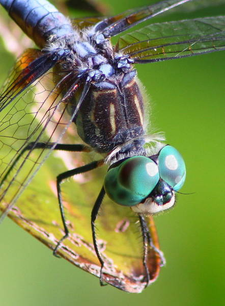 Dasher Photograph - Blue Dasher Dragonfly Up Close by John Burk