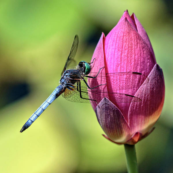 Photograph - Blue Dasher On Pink by Wes and Dotty Weber