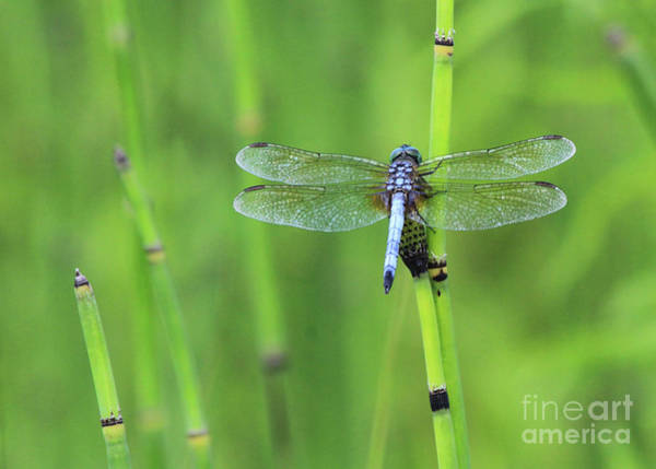 Photograph - Blue Dasher by Paula Guttilla