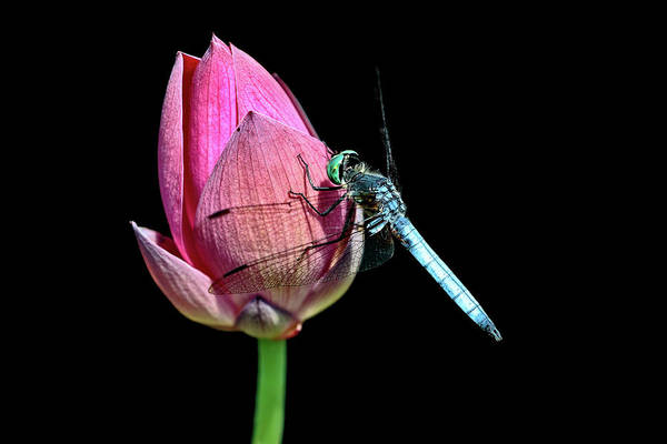 Photograph - Blue Dasher by Wes and Dotty Weber