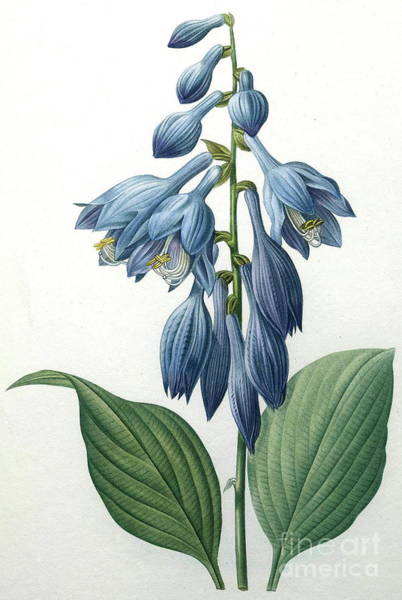 Wall Art - Painting - Blue Day Lillies by Pierre Joseph Redoute