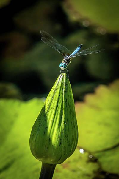 Wall Art - Photograph - Blue Dragon Fly by Paul Freidlund