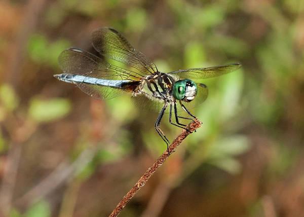 Photograph - Blue Dragon by Lara Ellis