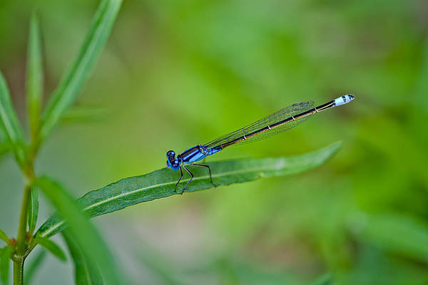 Regions Photograph - Blue Dragonfly by Az Jackson