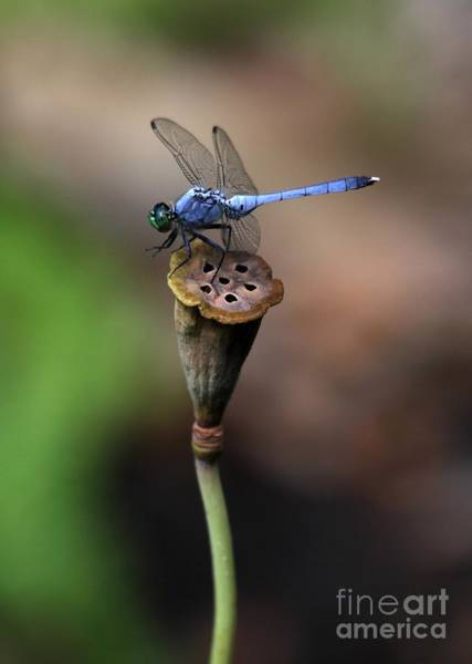 Lotus Seed Wall Art - Photograph - Blue Dragonfly Dancer by Sabrina L Ryan
