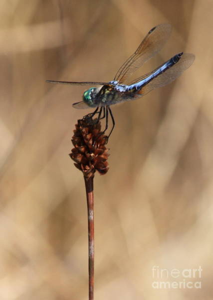 Blue Dragonfly Photograph - Blue Dragonfly On Brown Reed by Carol Groenen