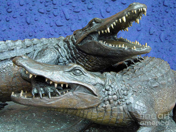 Photograph - Blue Dueling Gators  by D Hackett