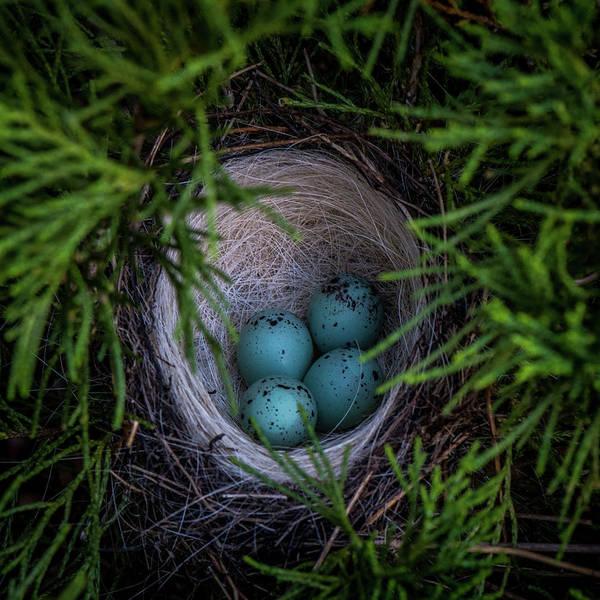 Wall Art - Photograph - Blue Eggs In A Nest by Paul Freidlund