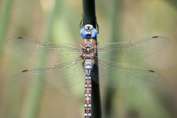 Photograph - Blue-eyed Darner by Windy Corduroy