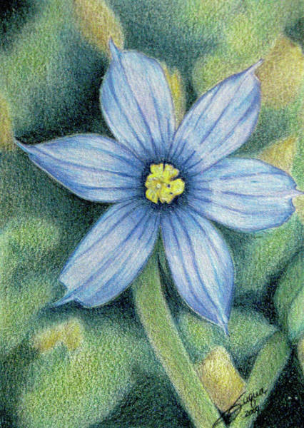 Wall Art - Drawing - Blue Eyed Grass - 1 by Beverly Fuqua