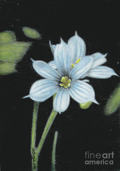 Wall Art - Drawing - Blue Eyed Grass - 2 by Beverly Fuqua