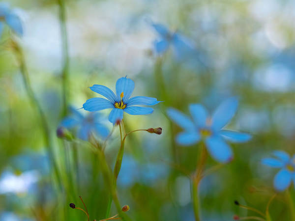 Photograph - Blue Eyed Grass Flowers by Brad Boland