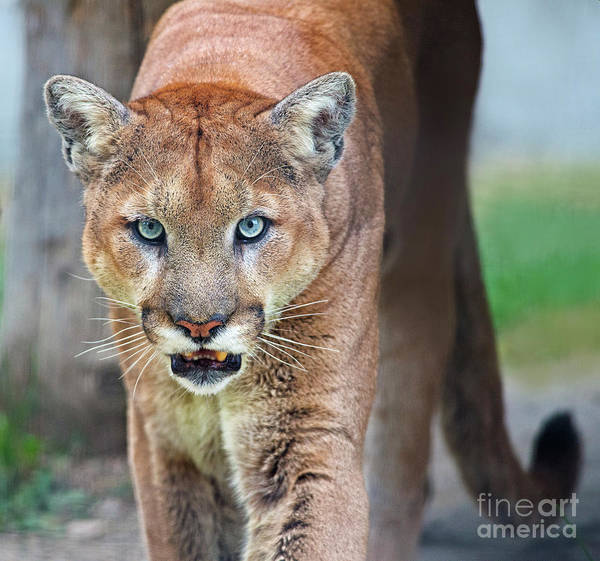 Catamount Photograph - Blue Eyed Kitty.. by Nina Stavlund