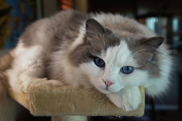 Photograph - Blue Eyes In A Cat Tree by John Daly