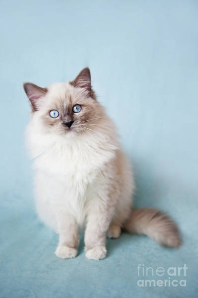 Wall Art - Photograph - Blue Eyed Ragdoll Kitten by Arletta Cwalina