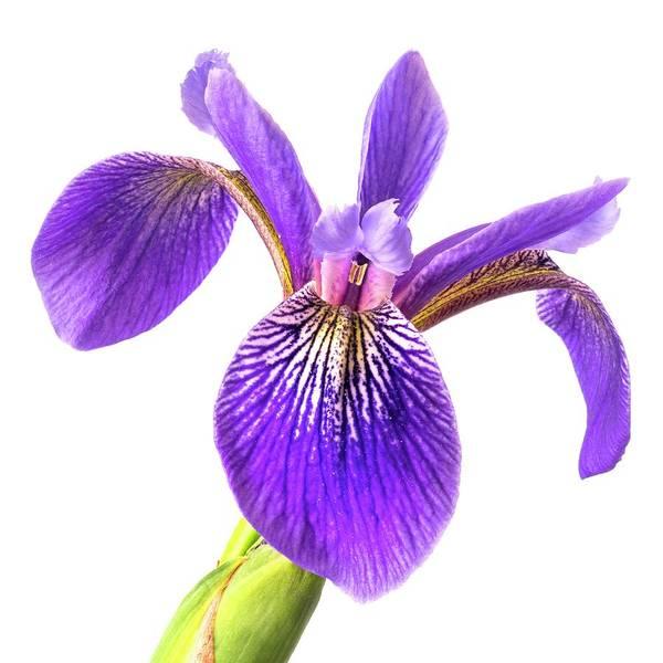 Photograph - Blue Flag Iris 3 by Jim Hughes