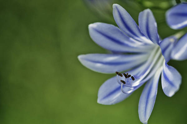 Pastel Photograph - Blue Flower by Nailia Schwarz