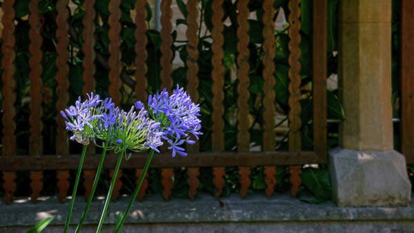 Photograph - Blue Flowers by Herb Paynter