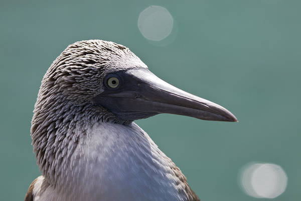 Blue Footed Booby Wall Art - Photograph - Blue Footed Booby II by Dave Fleetham