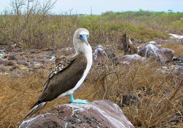 North Seymour Island Photograph - Blue-footed Booby by Richard Espenant