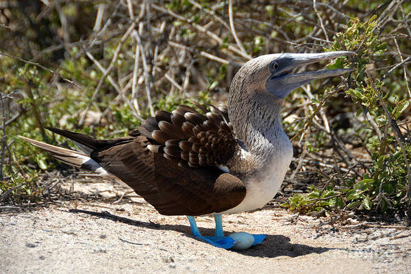 North Seymour Island Photograph - Blue Footed Booby With Egg by Catherine Sherman