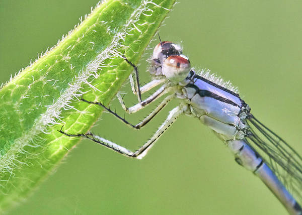 Blue Dragonfly Photograph - Blue Fronted Dancer Damselfly by Jim Hughes