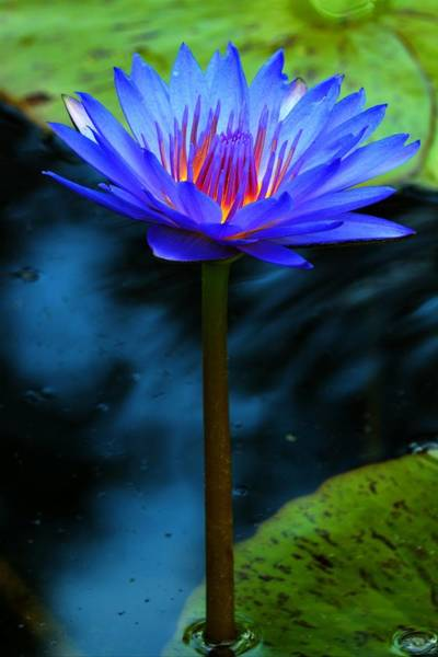 Photograph - Blue Fuchsia Water Lily by Carol Montoya