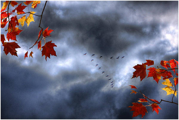 Photograph - Blue Geese In A Red October Sky by Wayne King