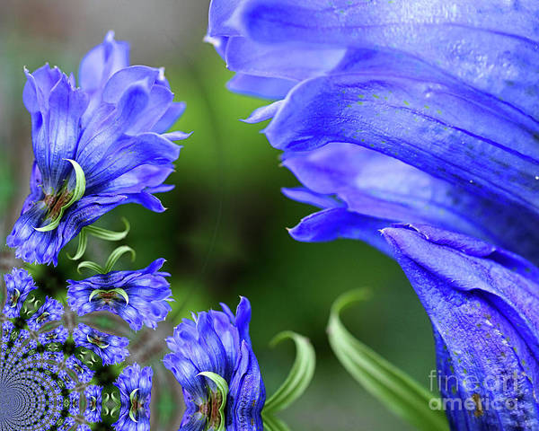 Photograph - Blue Gentian Flower Abstract by Smilin Eyes  Treasures