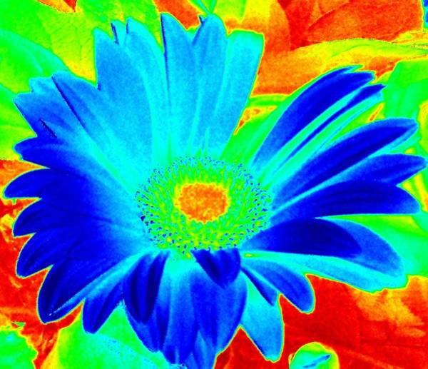 Photograph - Blue Gerber Daisy by Karen J Shine
