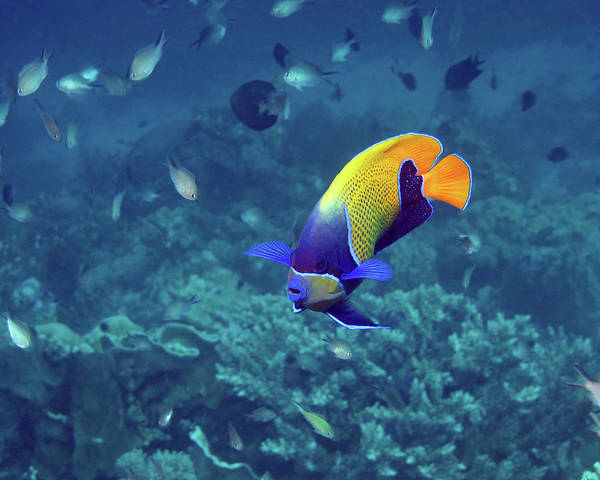 Photograph - Blue-girdled Angelfish, Indonesia by Pauline Walsh Jacobson
