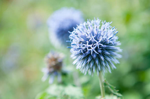 Photograph - Blue Globe Thistle Flower by Helen Northcott